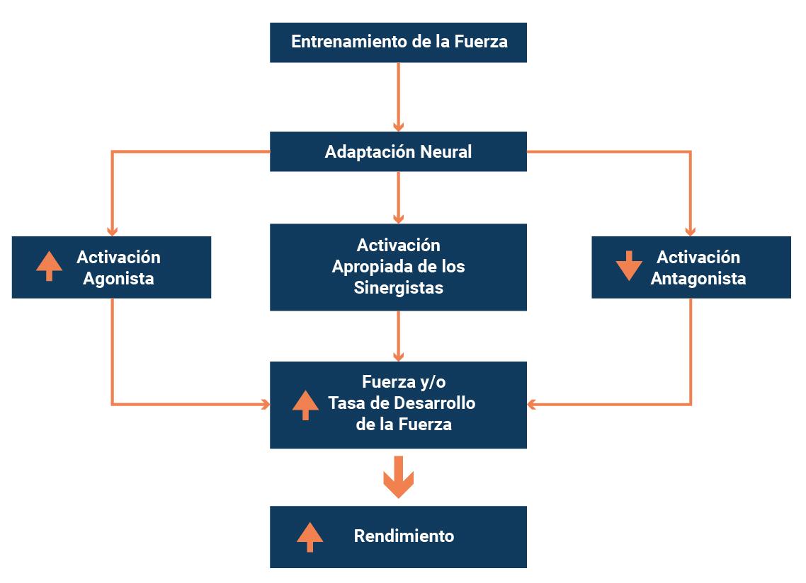 Esquema de adaptaciones neuromusculares